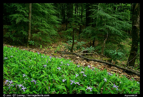 Crested Dwarf Irises and forest, Greenbrier, Tennessee. Great Smoky Mountains National Park, USA.