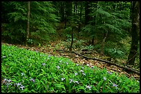 Crested Dwarf Irises and forest, Greenbrier, Tennessee. Great Smoky Mountains National Park ( color)