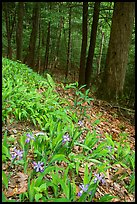 Crested Dwarf Irises blooming in the spring, Greenbrier, Tennessee. Great Smoky Mountains National Park ( color)