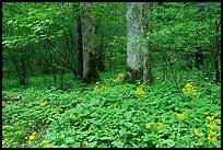 Yellow flowers on forest floor, Greenbrier, Tennessee. Great Smoky Mountains National Park, USA.