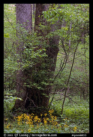 Tree trunks and yellow flowers, Greenbrier, Tennessee. Great Smoky Mountains National Park, USA.