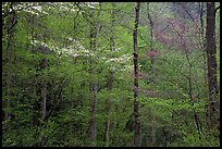 Blooming Dogwood and redbud trees in forest, Tennessee. Great Smoky Mountains National Park, USA.