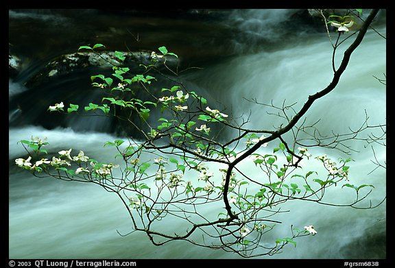 Dogwood branch with white blossoms and flowing stream, Treemont, Tennessee. Great Smoky Mountains National Park, USA.