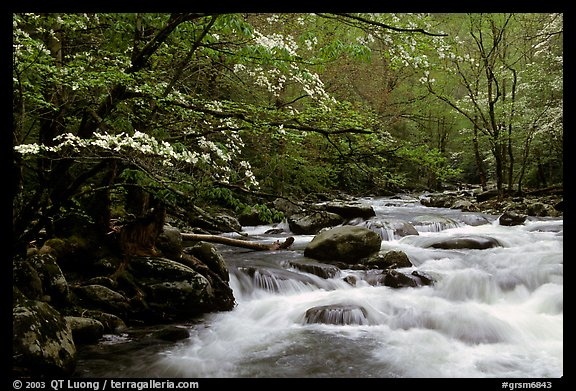 Dogwoods overhanging river with cascades, Treemont, Tennessee. Great Smoky Mountains National Park, USA.