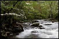 Dogwoods overhanging river with cascades, Treemont, Tennessee. Great Smoky Mountains National Park, USA. (color)