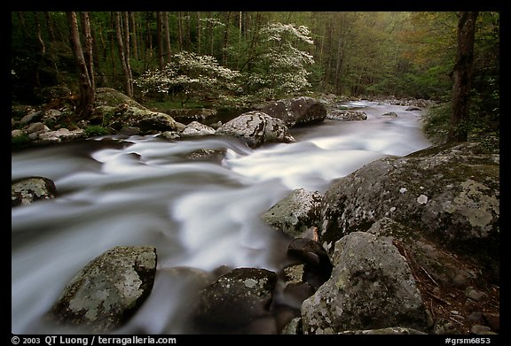 Middle Prong of the Little River flowing past dogwoods, Tennessee. Great Smoky Mountains National Park, USA.