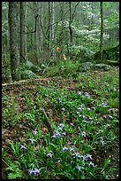 Crested Dwarf Irises in Forest, Roaring Fork, Tennessee. Great Smoky Mountains National Park, USA. (color)
