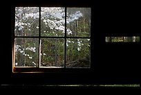 Dogwood blossoms seen from inside log cabin of Jim Bales, Tennessee. Great Smoky Mountains National Park ( color)