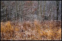 Prairie grasses and trees with fresh snow, Little Calumet River Trail. Indiana Dunes National Park ( color)