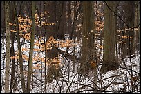 Forest in winter with leaves from previous season. Indiana Dunes National Park ( color)