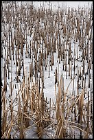 Reeds in frozen pond, Paul Douglas Trail. Indiana Dunes National Park ( color)