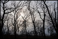 Bare aak trees and sun, Paul Douglas Trail. Indiana Dunes National Park ( color)