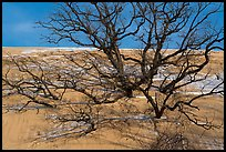 Black Oak trees engulfed by Mt Baldy dune. Indiana Dunes National Park ( color)