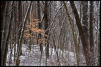 Forest in winter with fresh snow and autumn leaves, Chellberg Farm. Indiana Dunes National Park ( color)