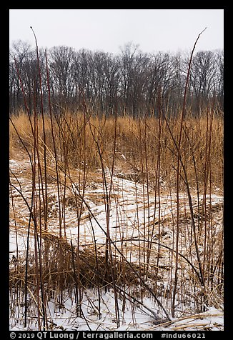 Tall grasses in winter, Mnoke Prairie. Indiana Dunes National Park (color)