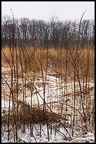 Tall grasses in winter, Mnoke Prairie. Indiana Dunes National Park ( color)