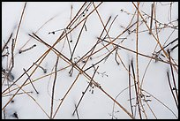 Close-up of reeds and snow. Indiana Dunes National Park ( color)