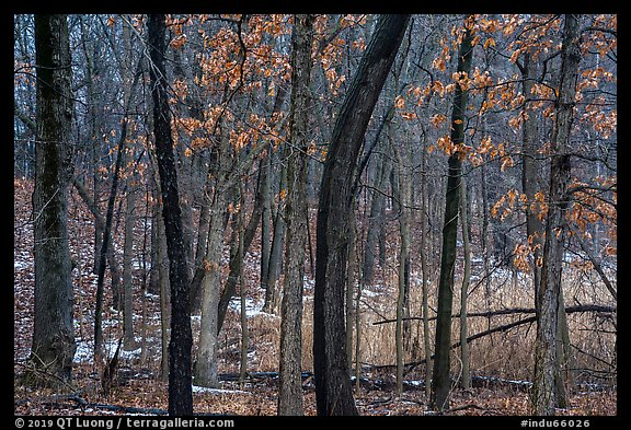 Oak trees in winter with autumn leaves. Indiana Dunes National Park (color)