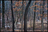 Oak trees in winter with autumn leaves. Indiana Dunes National Park ( color)