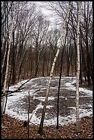 Birch trees and pond in winter. Indiana Dunes National Park ( color)