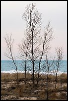 Bare trees, dunes, and Lake Michigan. Indiana Dunes National Park ( color)