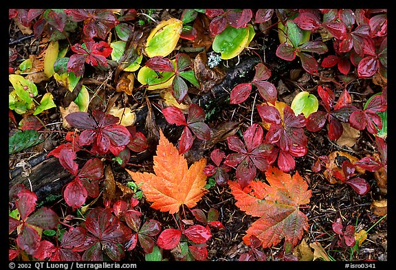 Forest floor detail in autumn. Isle Royale National Park (color)