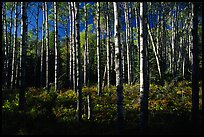Birch trees near Mt Franklin trail. Isle Royale National Park ( color)