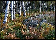 Birch trees on Greenstone ridge. Isle Royale National Park, Michigan, USA. (color)