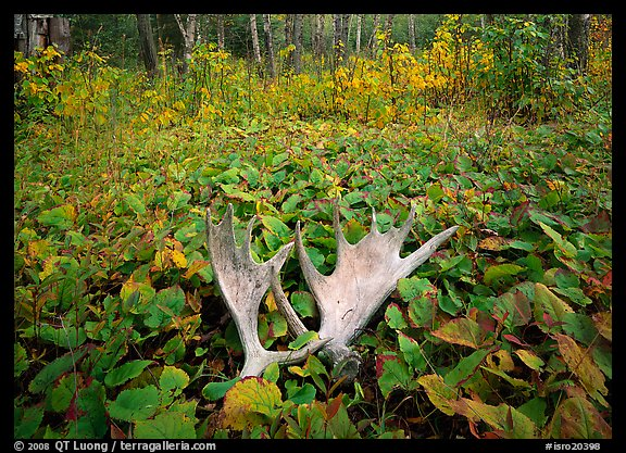Moose antlers, Windego. Isle Royale National Park (color)