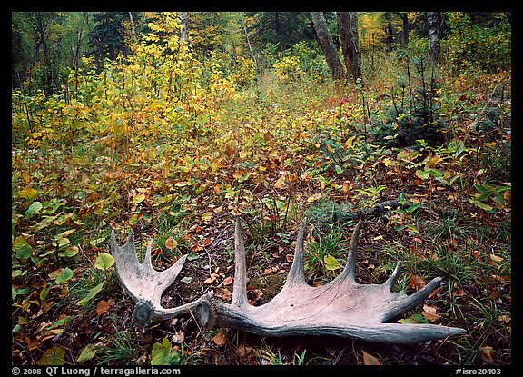 Fallen moose antlers in autumn forest. Isle Royale National Park, Michigan, USA.