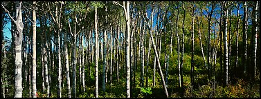 Birch north woods forest scene. Isle Royale National Park (Panoramic color)