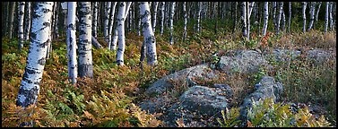 Ferns and north woods forest in autumn. Isle Royale National Park (Panoramic color)