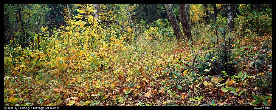 Forest floor in the fall. Isle Royale National Park (color)