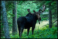 Bull moose in summer forest. Isle Royale National Park ( color)