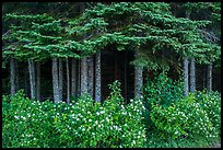 White blooms and dark forest. Isle Royale National Park ( color)