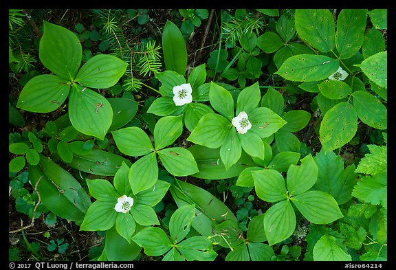 Forest undergrowth with white flowers, Passage Island. Isle Royale National Park (color)