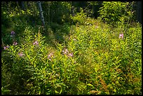 Fireweed and dense forest, Caribou Island. Isle Royale National Park ( color)