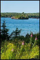 Fireweed, inlet, and forest, Caribou Island. Isle Royale National Park ( color)