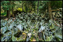 Collection of moose antlers and skulls. Isle Royale National Park ( color)