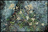 Close-up of wildflowers and lichen. Isle Royale National Park ( color)