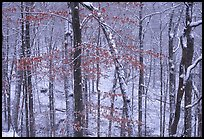 Trees in winter with snow and old leaves. Mammoth Cave National Park, Kentucky, USA. (color)