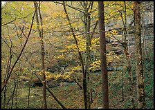 Trees and limestome cliffs in autumn. Mammoth Cave National Park ( color)