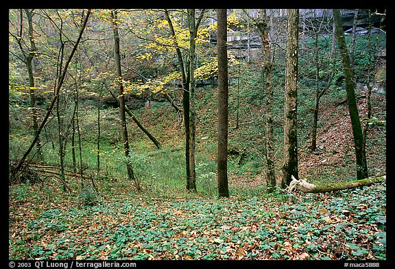 Forest in fall inside sinkhole. Mammoth Cave National Park (color)