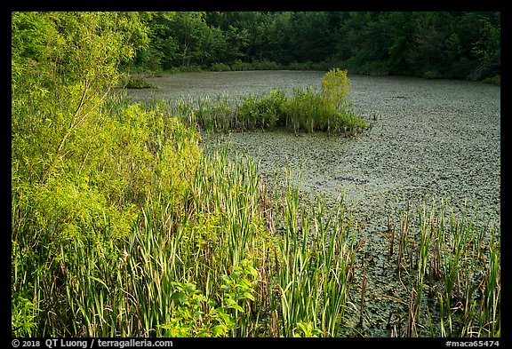 Aquatic plants, Sloans Crossing Pond. Mammoth Cave National Park (color)