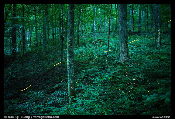 Fireflies in forest. Mammoth Cave National Park (color)