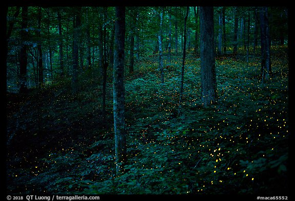 Lights of Synchronous fireflies in forest. Mammoth Cave National Park (color)