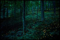 Lights of Synchronous fireflies in forest. Mammoth Cave National Park ( color)