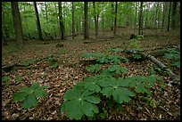 May apple plants with giant leaves on forest floor. Mammoth Cave National Park, Kentucky, USA.