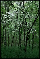 Blooming Dogwood trees in forest. Mammoth Cave National Park ( color)