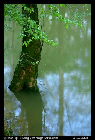 Flooded trees and reflections in Echo River Spring. Mammoth Cave National Park (color)
